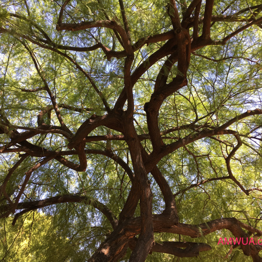 5 Trees To Shade Your Desert