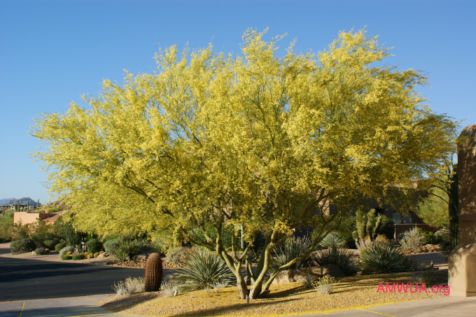 Check AMWUAu0027s plant pages for the trees that are right for your yard. Consider where to plant the tree so it can grow comfortably into its space with ... & 5 Trees To Shade Your Desert | AMWUA