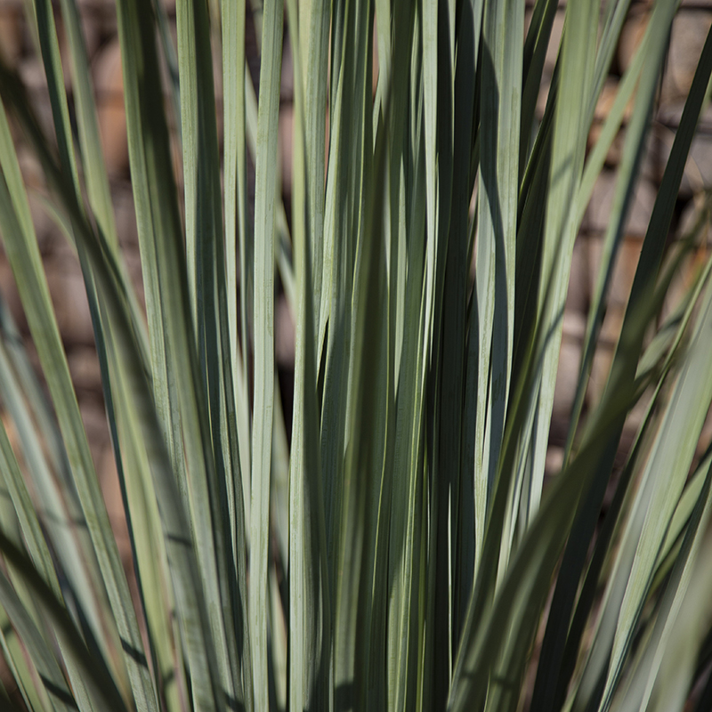 Beargrass