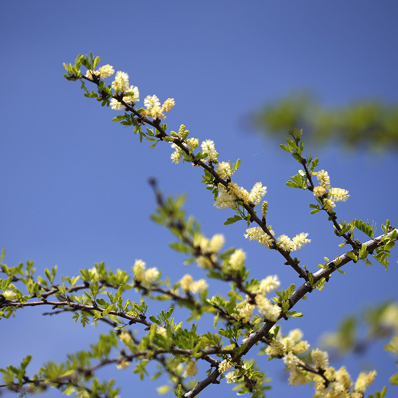 Blackbrush Acacia