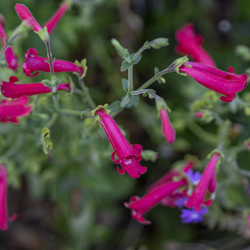 Canyon Penstemon