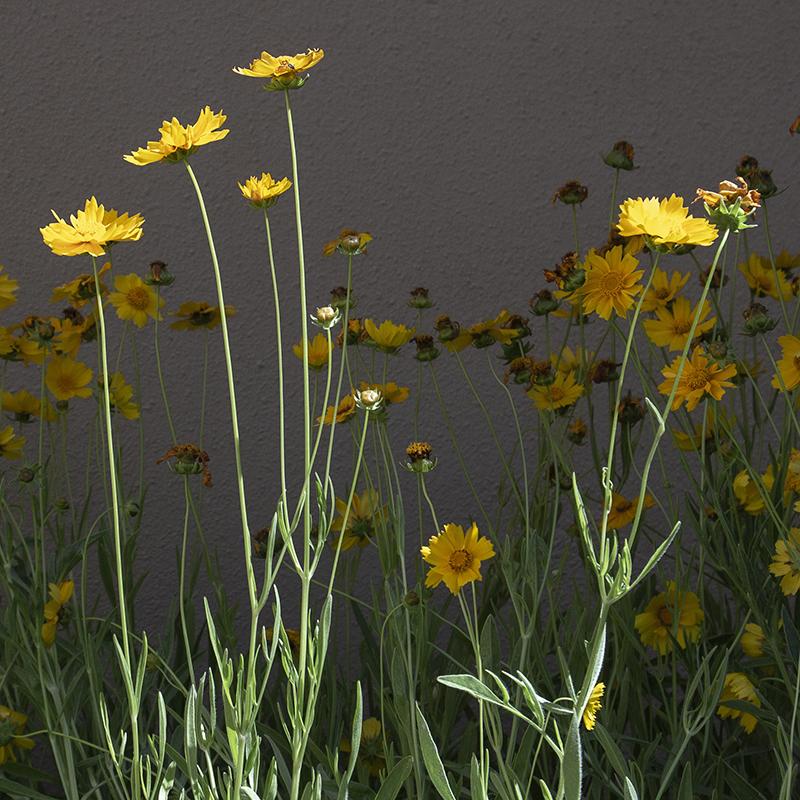 Desert Coreopsis