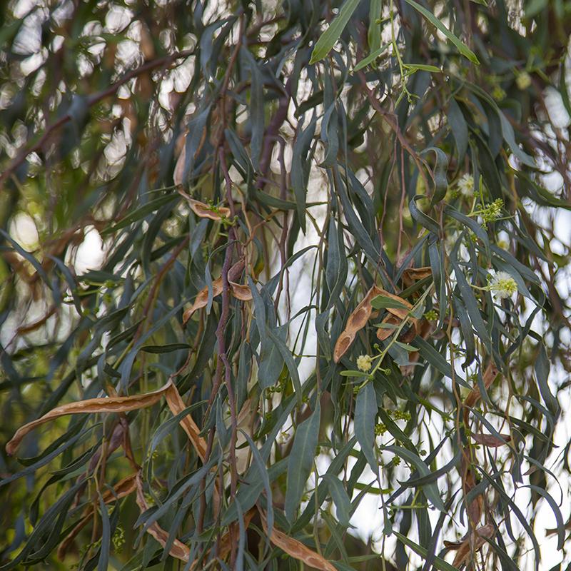 Willow Acacia