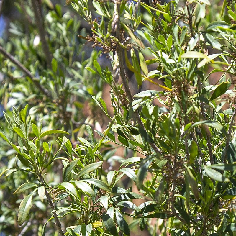 Little-leaf Ash