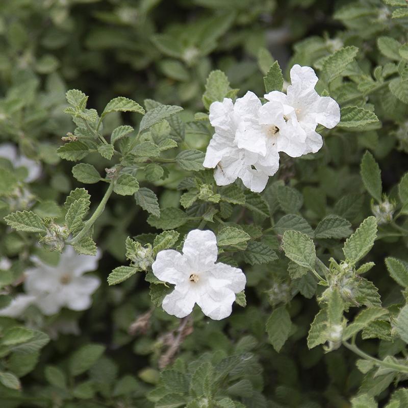 Little-leaf Cordia