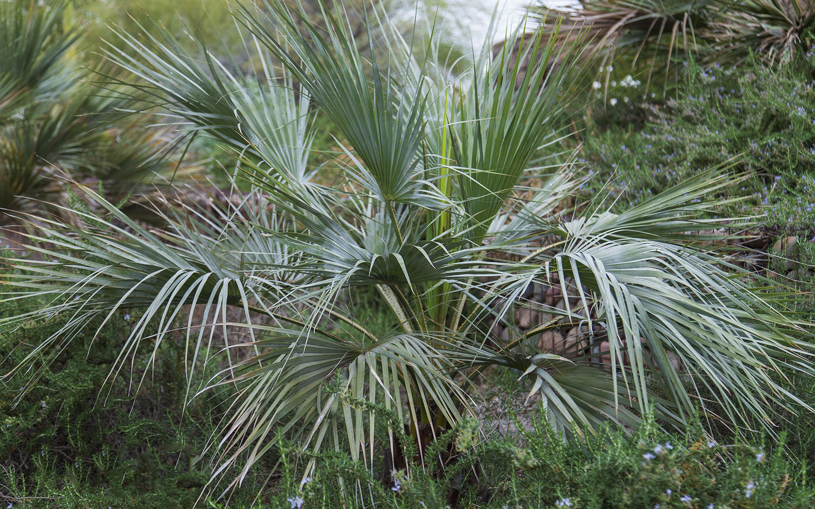 Mexican Blue Palm