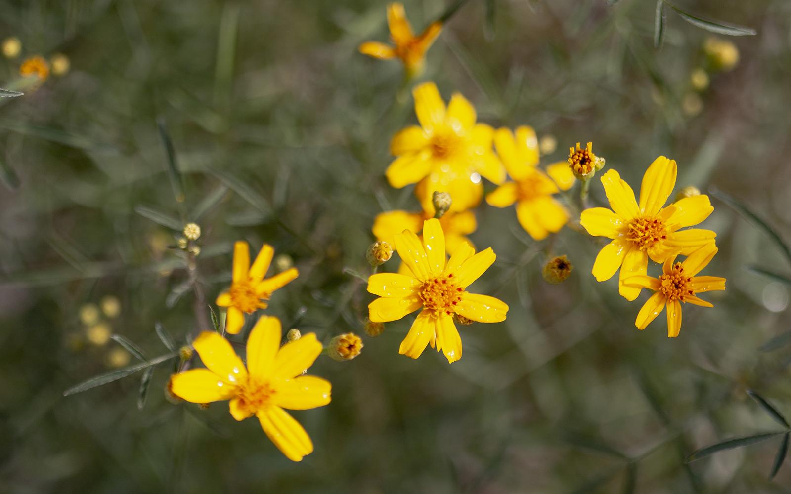 Mt. Lemmon Marigold