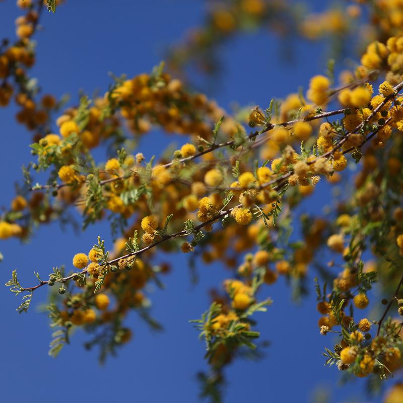 Sweet Acacia