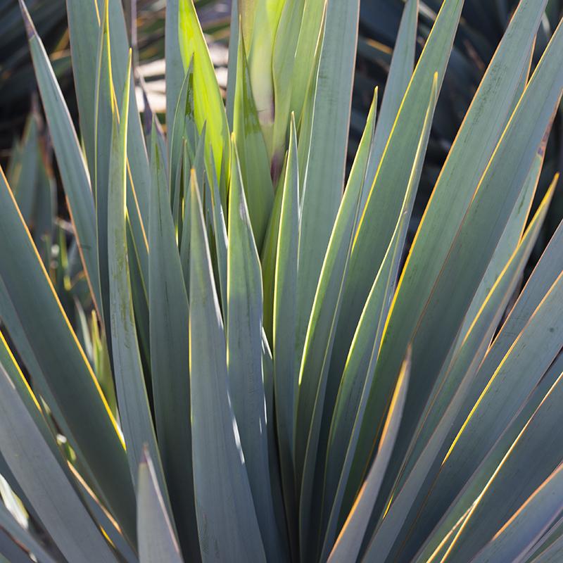 Paleleaf Yucca