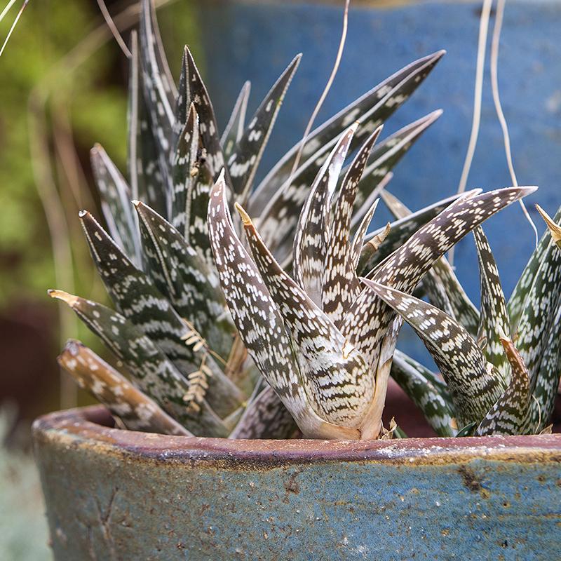 Partridge Breast Aloe