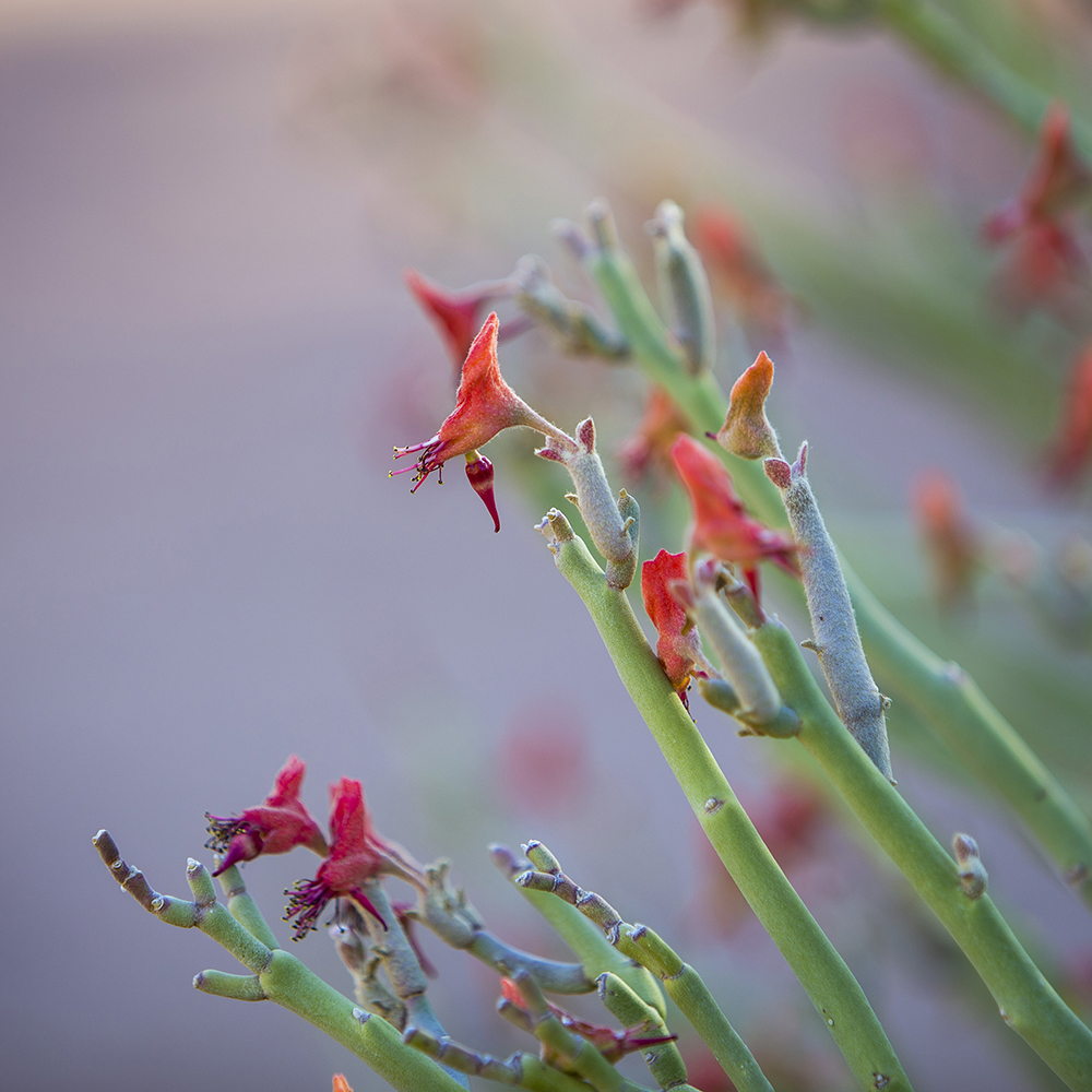 Slipper Flower
