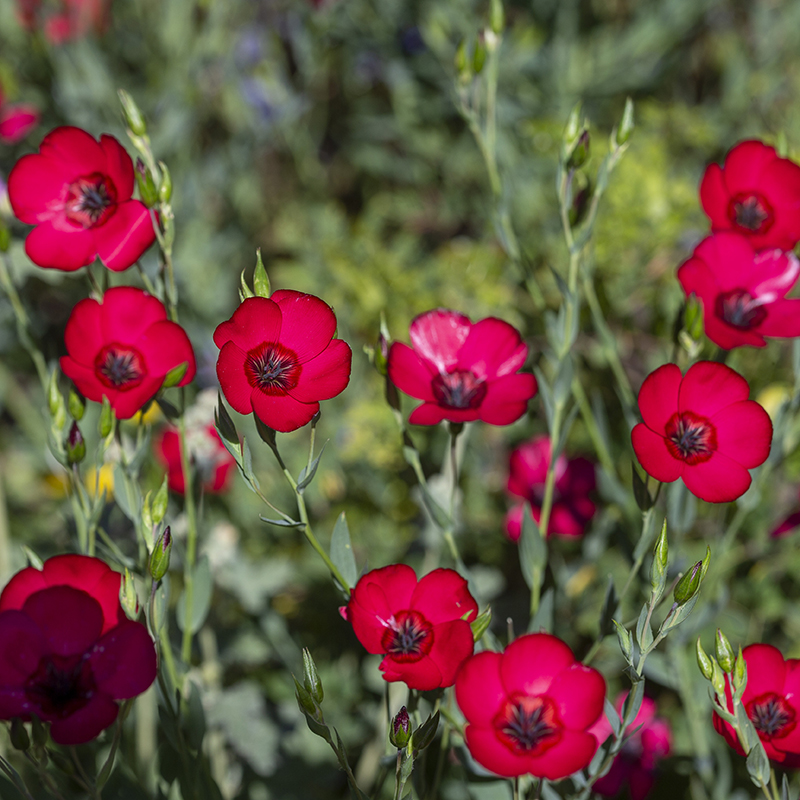 Red Flax