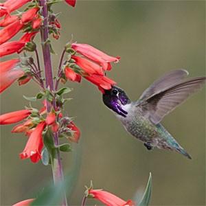 Chandler Hummingbird Habitat