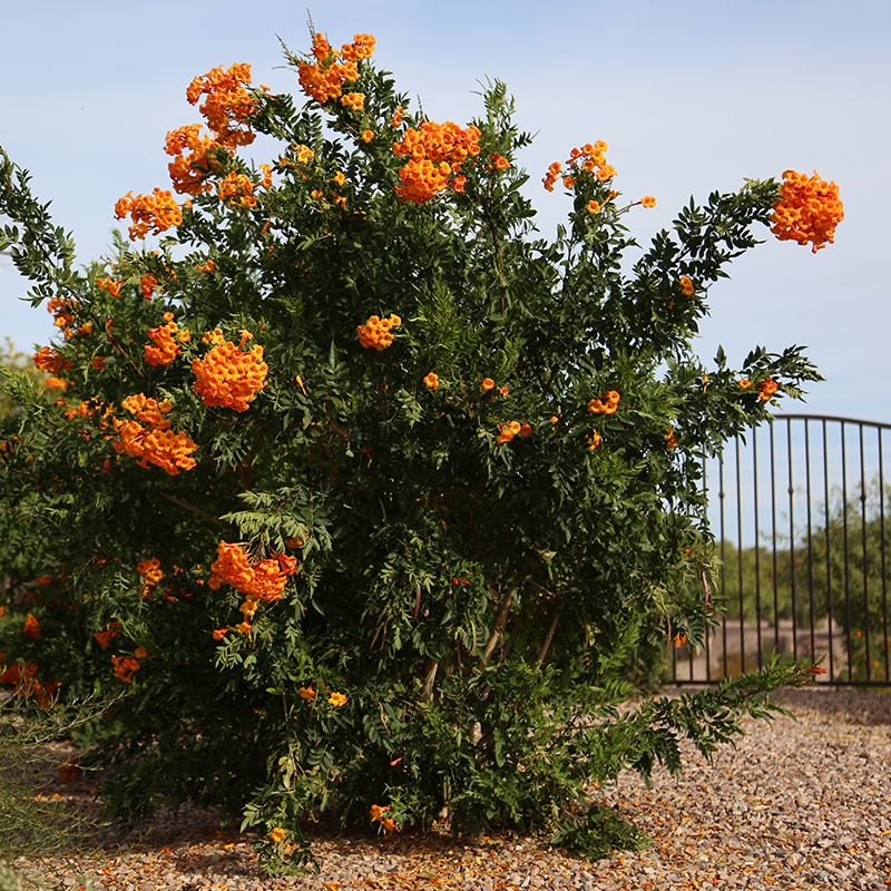 2.13 Orange Bells DS
